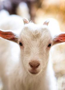 Ovines/Goats